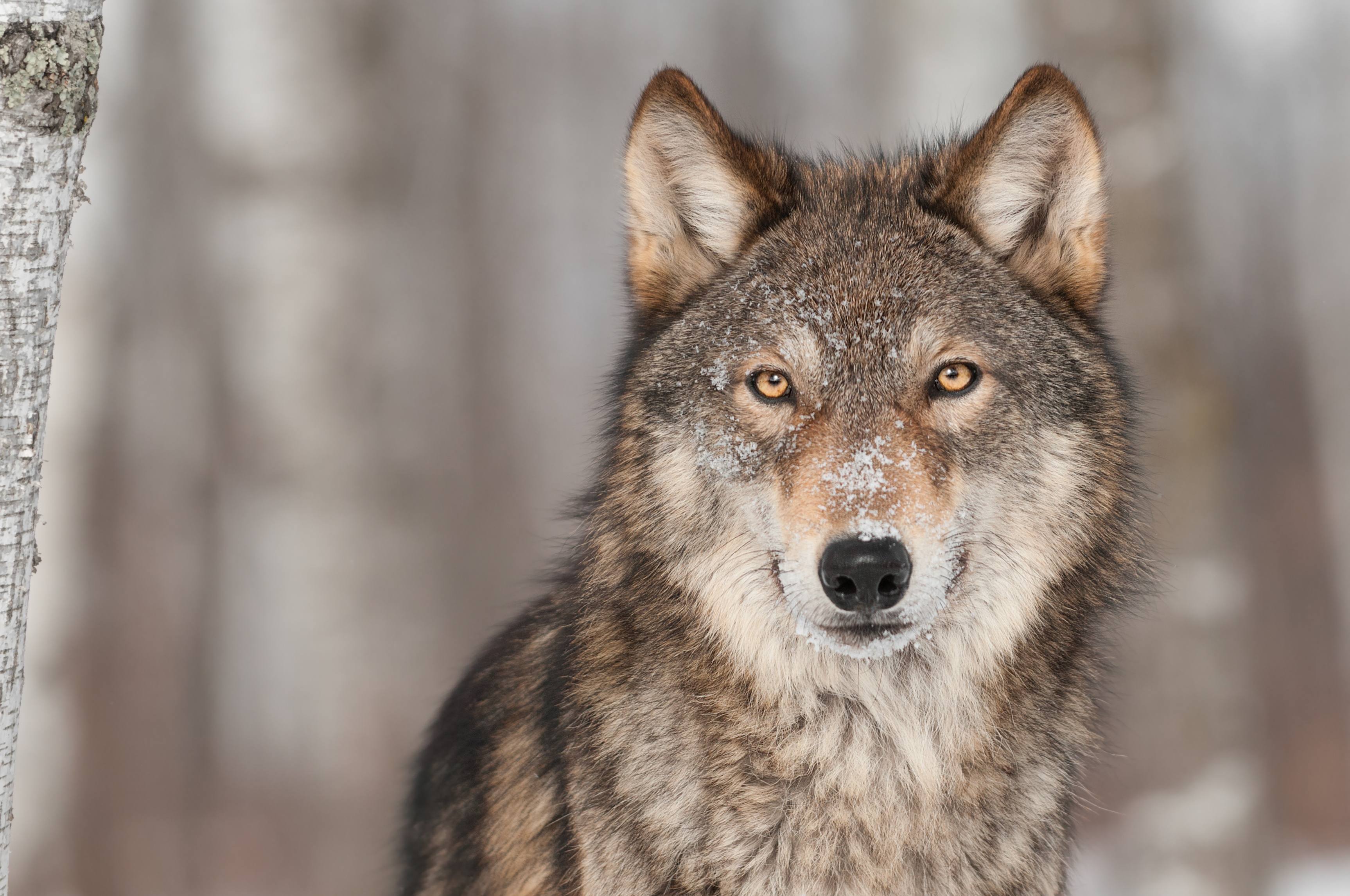 Rocky Mountain Wolf Project - Take Action